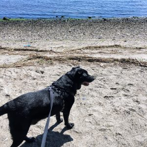 Black dog on a beach