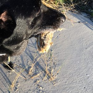 black dog with dead fish in mouth