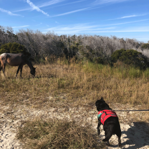 Dog looking at wild horses on the island