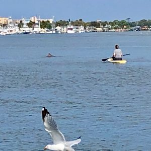 Bird in foreground, dolphin fin, paddleboarder